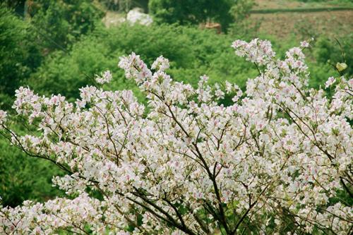 Tháng 3 mùa hoa ban
