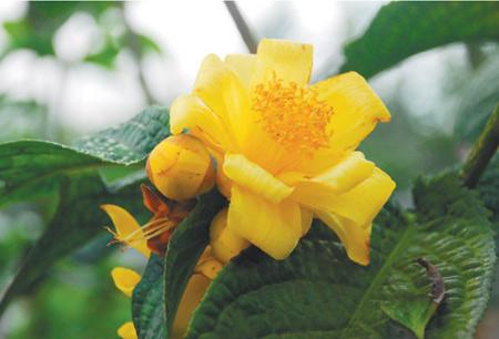 Trà hoa vàng được xếp vào loại cây trong tình trạng nguy cấp. Ảnh:trahoavang.com