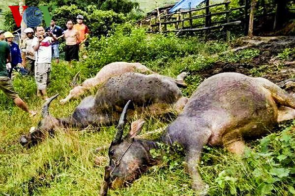 Mưa dông lớn khiến 4 con trâu bị sét đánh chết