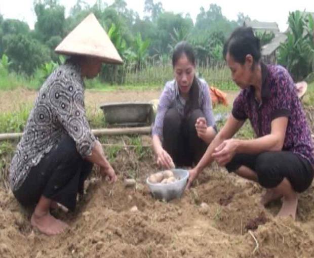 Yên Bái hỗ trợ khoai tây giống cho bà con tái sản xuất sau lũ