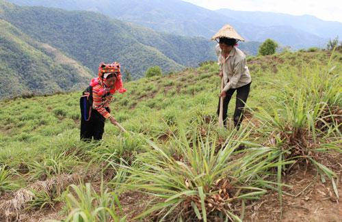 Bài toán trồng sả không phải phá rừng của người Hà Nhì