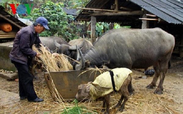 Sơn La đảm bảo chống rét cho hơn 1,2 triệu gia súc