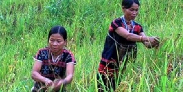 Gạo thiêng chỉ dành cho khách quý