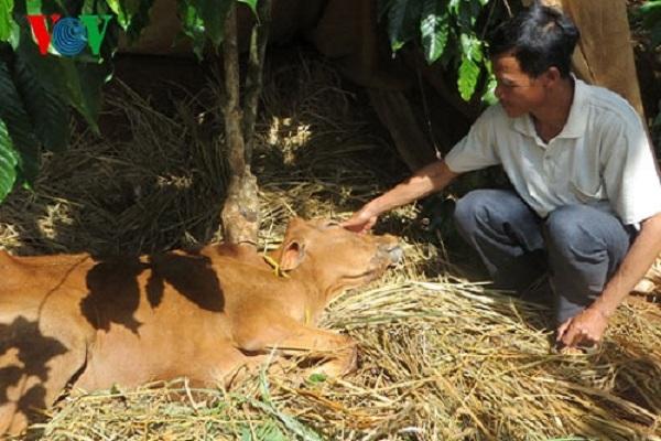 Bệnh lở mồm long móng trên đàn bò ở huyện Ia H'Drai lây lan rộng