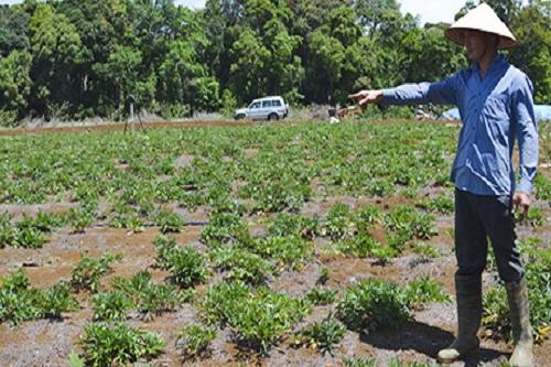 Kon Plông mở rộng việc trồng cây dược liệu