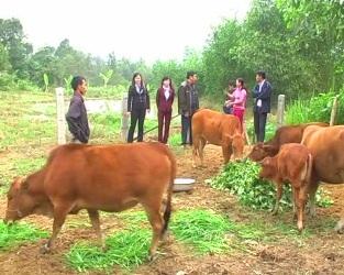Bốn chàng cử nhân về quê nuôi bò thịt